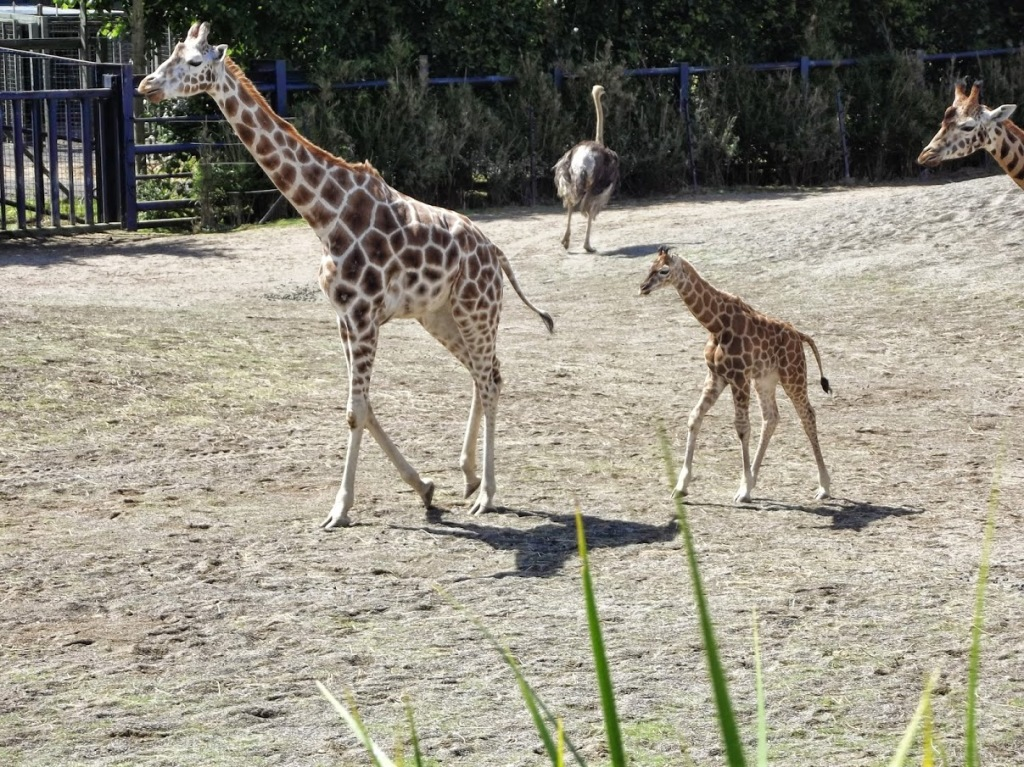 """A Daddy Giraffe and a Baby Giraffe."" -- Alexander Dembski-Bowden, July 2014."
