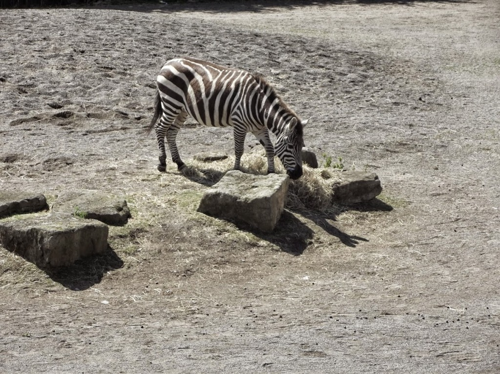 "To apologise for how shitty their fake zebra had been, the Zoomasters wheeled out a real one for us. But it was too late. ""Fuck you,"" I told it, and walked on."
