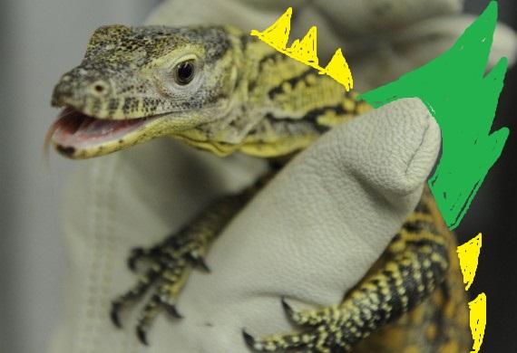 komodo-dragon-dangerous-babies-570x390